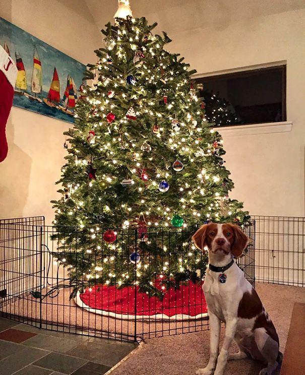 Σύλος μπροστά από χριστουγεννιάτικο δέντρο περιφραγμένο με σιδερένια καγκελάκια
